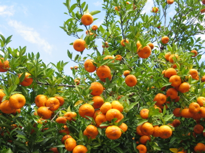 jaffa-oranges